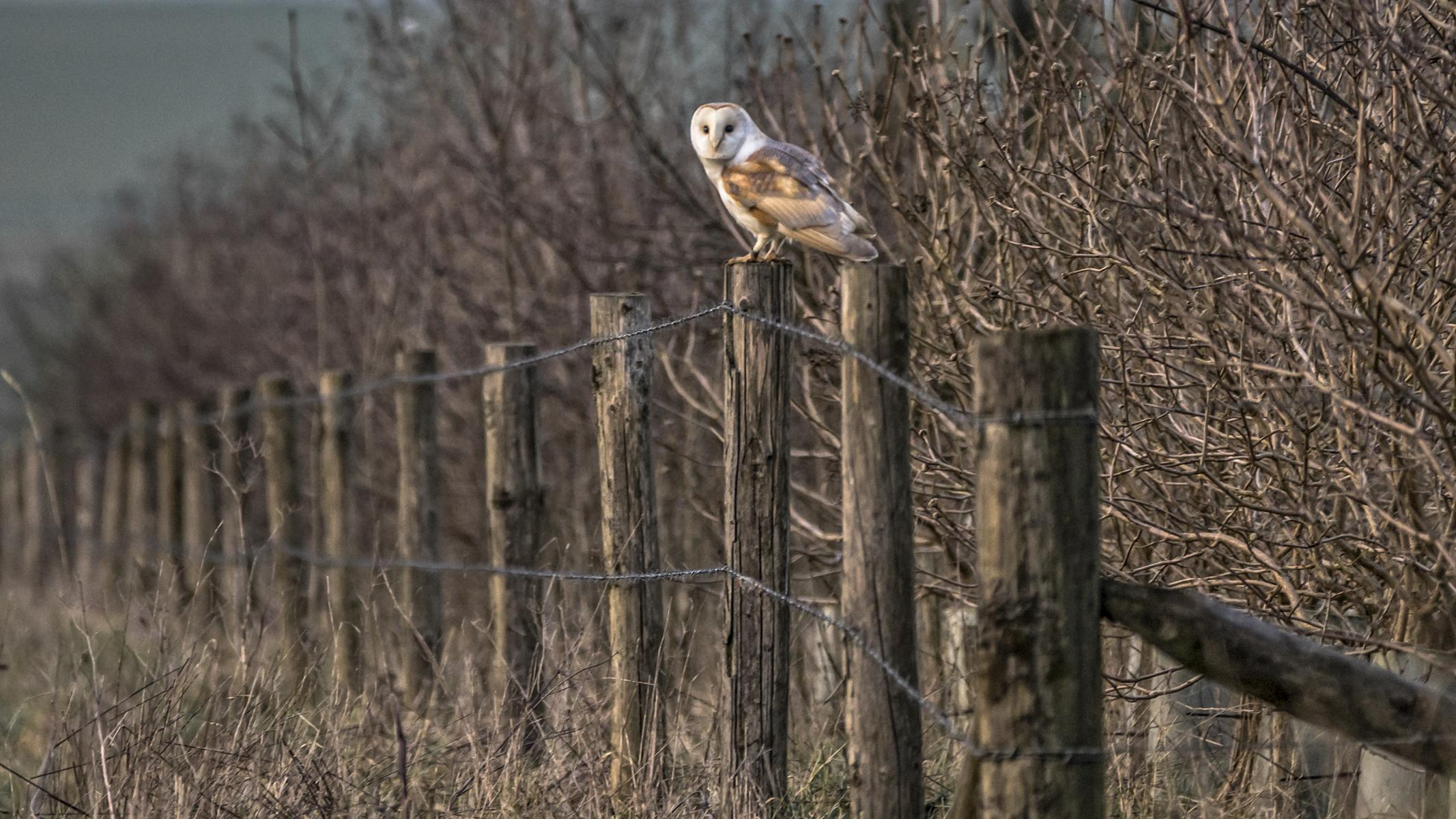 2016-2-belongin-to-the-night-barn-owl-c