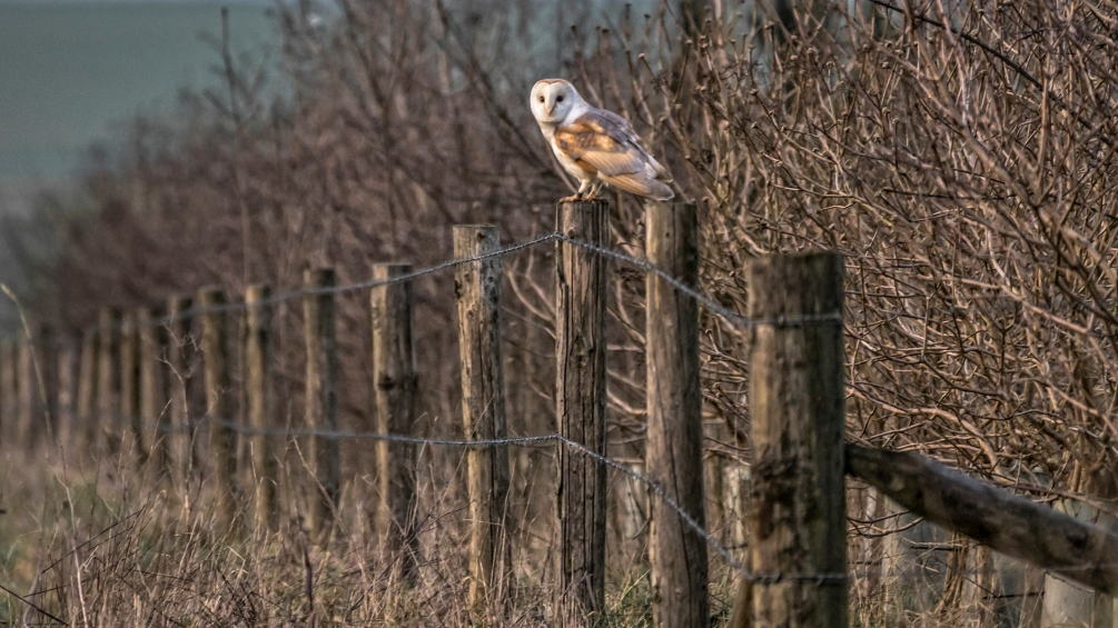 2016-2-belongin-to-the-night-barn-owl-c
