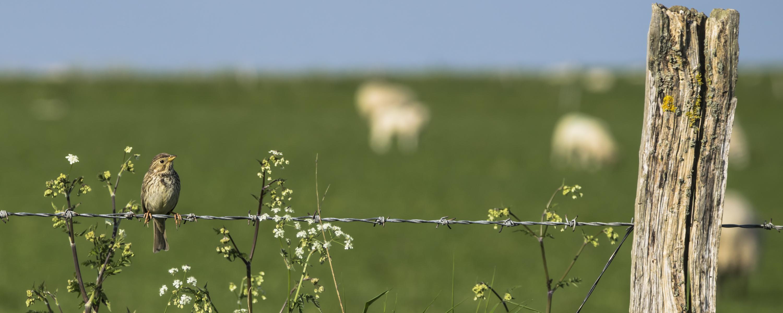 2016-5-corn-bunting-and-blurry-sheep-19