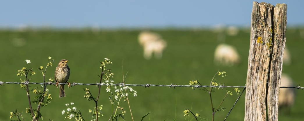 2016-5-corn-bunting-and-blurry-sheep-19